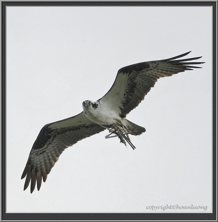 https://flic.kr/p/21p8g1Y | Osprey (Balbuzard pêcheur) | Images taken by hoan luong is licensed under a Creative Commons Attribution-NonCommercial-NoDerivs 3.0 Unported License.