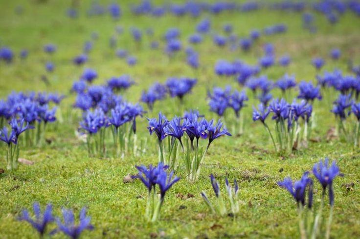 Iris reticulata, Dwarf iris, spring container ideas, Iris Reticulata 'Katharine Hodgkin',Iris Reticulata 'Harmony', Iris reticulata 'Pixie', Iris Reticulata 'Spring Time',Iris Reticulata 'Gordon'