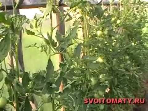 Недостаток элементов питания у томатов и причины скручивания листьев - YouTube