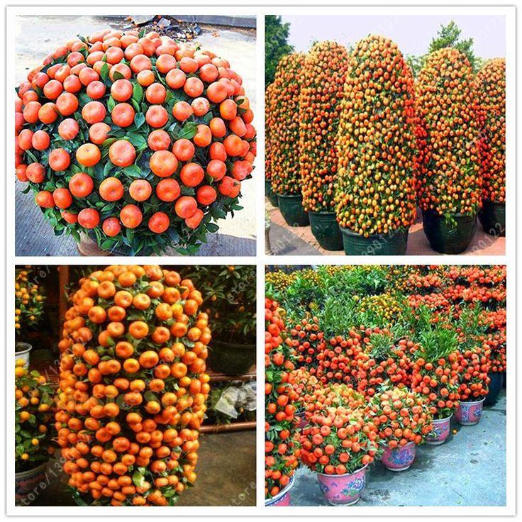 20pcs/bag Orange Seeds Climbing Orange Tree Seed Bonsai