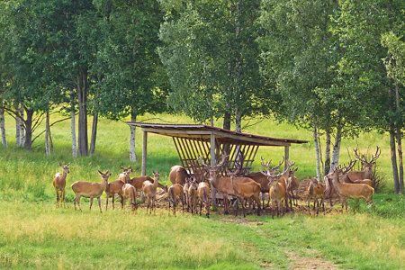 How to attract deer -- feed them what they like and they'll come running #hunting