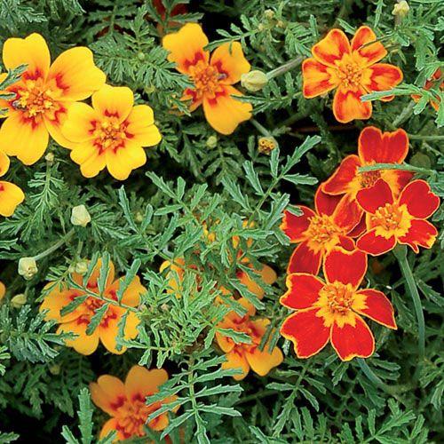 Ster-Afrikaantjes (Signet Marigold' (mixed)  De volle zoete aromatische smaak is kruidig, ietsje bitter.Het Ster-Afrikaantje heet officieel: Tagetes tenuifolia en in het Engels 'Signet Marigold'.