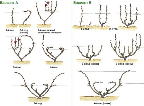 Веерная формировка винограда. Варианты выведения 4-рукавного веера.