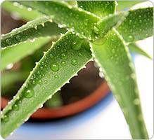Aloe vera: indications, posologie, historique, recherches, précautions, interactions.