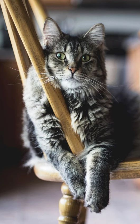 Smokey, the Silver Tabby Cat, sits on his Favourite Chair ....