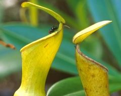 The peculiar carnivorous habit of the Seychelles pitcher plant turns it into a genuine botanical curiosity.