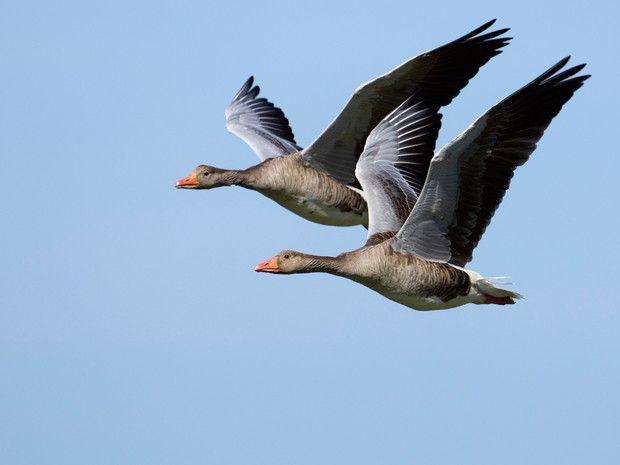 Certains sont des voyageurs au long cours, parcourant des dizaines de milliers de kilomètres. D'autres hivernent dans le sud de l'Europe. De la sterne arctique à l'oie cendrée, en passant par la cigogne blanche et l'hirondelle, testez vos connaissances sur les oiseaux migrateurs qui survolent le territoire français : http://www.geo.fr/oiseaux-migrateurs-testez-vos-connaissances-122497