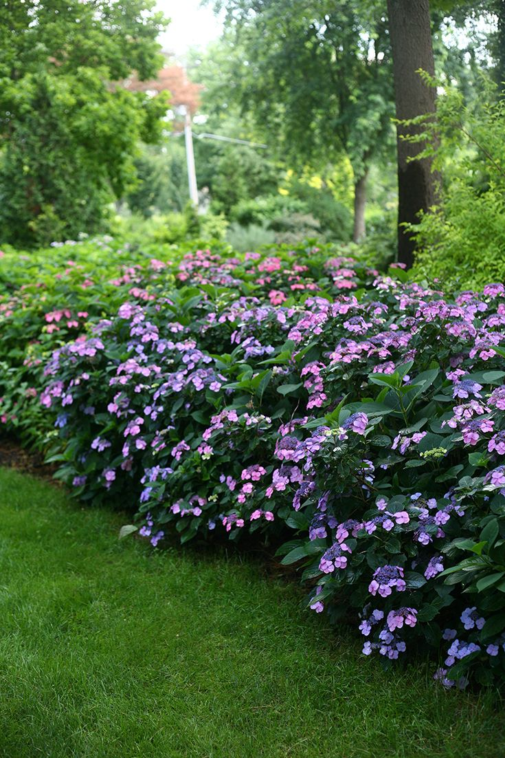 Tuff Stuff™ hydrangea only looks delicate. Dozens of lacecap flowers and deep green foliage are just the icing on the cake for this hardy reblooming hydrangea.  http://emfl.us/AULd