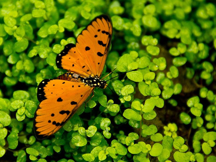 Schmetterling - butterfly