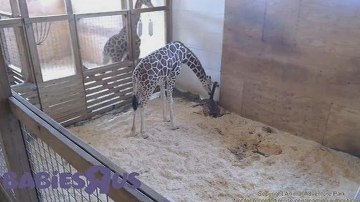LIVE GIRAFFE CAM: April the Giraffe gives birth at New York zoo | abc7.com