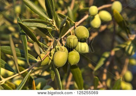 Olive branch with some unripe green olives grown in Extremadura Spain