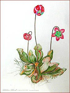 pitcher plant newfoundland drawing - Google Search