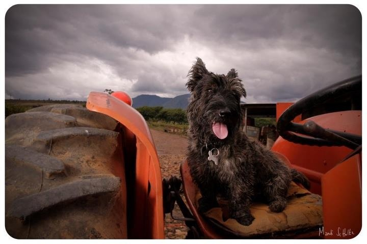 Farmer Dexter  #scottishterrier