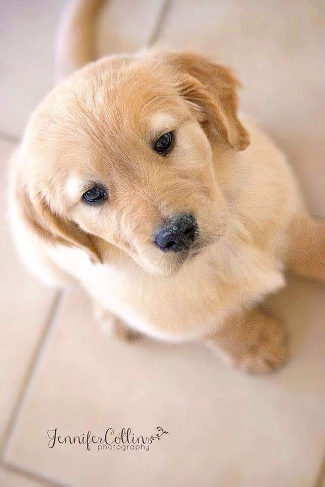 Sweet Golden Retriever puppy
