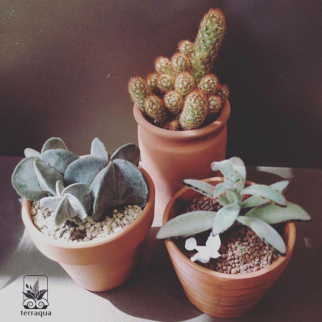Terraqua atölyede bitkinizi ve beğendiğiniz saksıyı kendiniz seçebilirsiniz. Seçiminize göre dikim yapılabilir 🌿 #terraquadesign #plantshop #pottery #lovegreen #pandaplant #cactus #cactusmagazine #kaktüs #cacti #astrophytum #instagood #çömlek #saksı #bitki #botanical #nature #tagsforlikes #succulent #sukulent #decorative #homedecor #istanbul