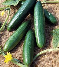 Bobby-Seeds Onlineshop - Gurke La Diva ist eine Neuheit, die in den USA seit einigen Jahren populär ist. Bei rein weiblich blühenden Pflanzen sind die Früchte kernarm und völlig bitterfrei. Die Mini-Salatgurken dieser Sorte werden etwa 12-15 cm lang und schmecken phantastisch. Kann sowohl im Gewächshaus, als auch im Freiland kultiviert werden, La Diva ist widerstandsfähig gegen echten und falschen Mehltau. Die Ernte erfolgt ab Juni bis Oktober fortlaufend