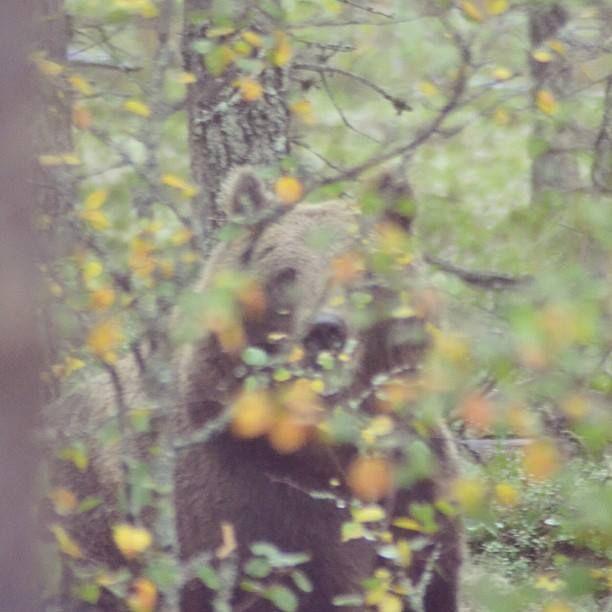 Bear. Kuhmo, Finland