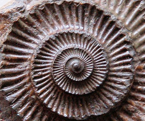 The perfect curve of an ammonite.