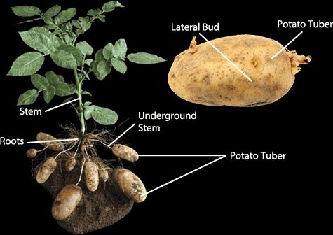Asexual reproduction in potato plants: vegetative reproduction. #asexual reproduction #biology