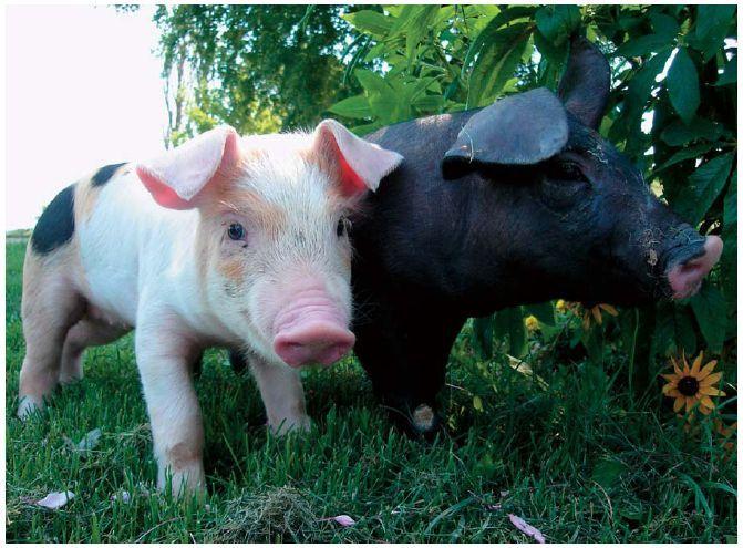 how to raise a pet pig