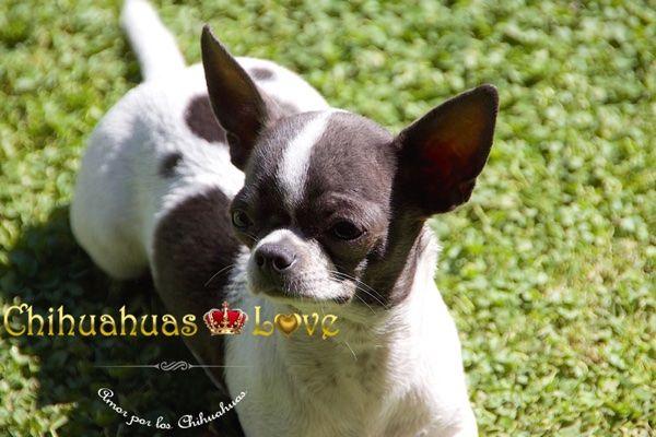 Chihuahuas Love - Aprender Con Los Chihuahuas. Criadero de Chihuahuas.