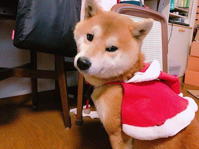 見てみて!さんたがサンタさんになったよ!XmasVerだよん💕 付けても付けなくても結局さんたはさんた(笑) 帽子ちゃんと被せようとするとすぐブルブルってやって来る。 . . . #さんた #サンタ #さんたがサンタ #柴犬 #犬 #愛犬 #XmasVer #こんな名前でも夏生まれ #うちに来たのがクリスマスイブだったから #ってゆー単純なら理由で #命名されました🐶 #かわいいでしょ♥