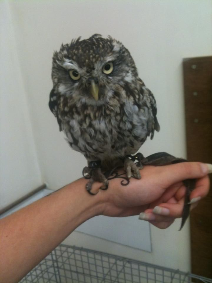 Best Beings Images On Pinterest Animal Funnies Animal House - Meet the cuddly owl who loves landing on people