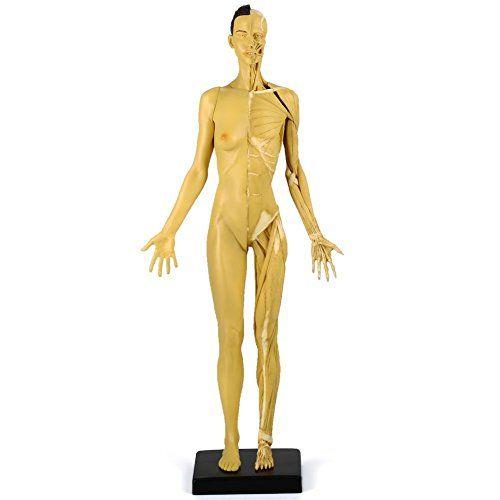 VERY100 Anatomie Figuren Modell muskelsystem muskel Lernmittel mit Muskelbemalung und Ligamenten frau