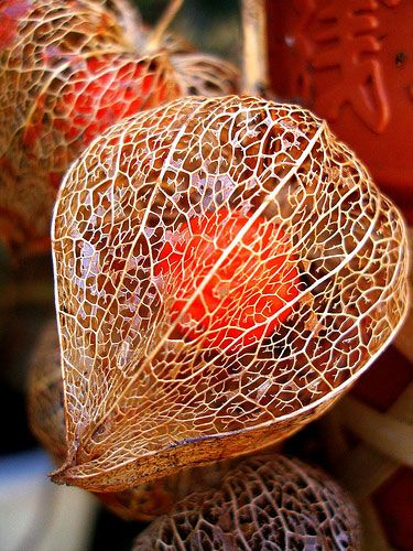Chinese lantern seed pod intricate and kind of awesome
