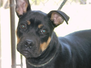 Boxer and Rottweiler mix :-)