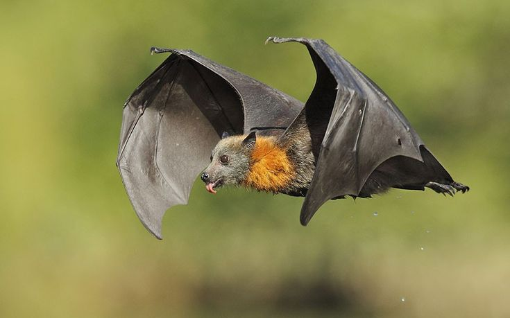 Grey-headed flying fox, Parramatta Park, Sydney.  Flying in 40-degree heat, it licks water drops from its dripping fur after swooping down and dipping its stomach into the river.  |  Ofer Levy / HotSpot Media.