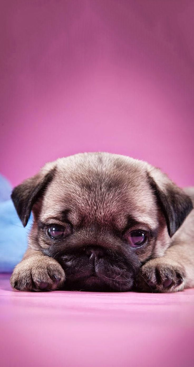 ↑↑TAP AND GET THE FREE APP! Animals Girlish Dog Puppy Pug Cute Pink Sad Baby HD iPhone 5 Wallpaper