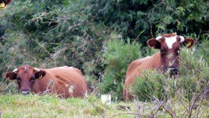 #patagonia #caminoensendada #chile #puertovaras #cattle