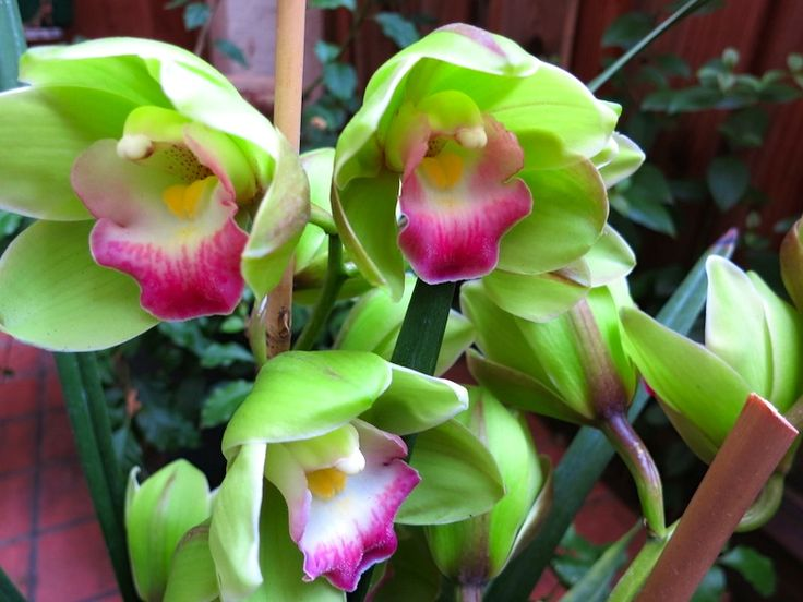 cymbidium green orchid collection pinterest orchid. Black Bedroom Furniture Sets. Home Design Ideas