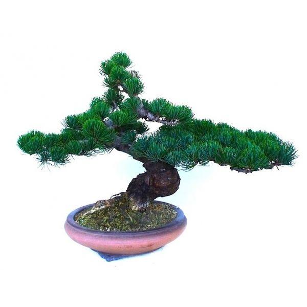 les 88 meilleures images du tableau bonsa trees for sell sur pinterest acheter bonsa achat. Black Bedroom Furniture Sets. Home Design Ideas