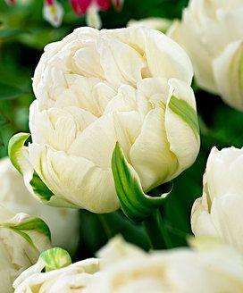 Tulpen günstig im Garten-Shop online kaufen