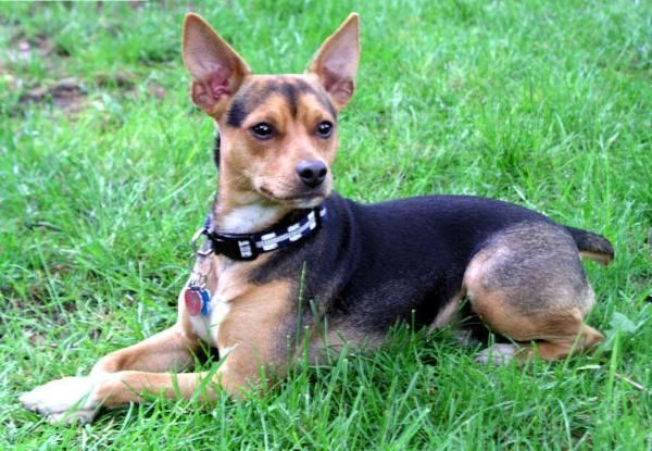 Rat Terrier Hunting Dogs For Sale