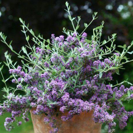 Wechselblättriger-Sommerflieder Unique - Buddleja alternifolia Unique günstig online kaufen