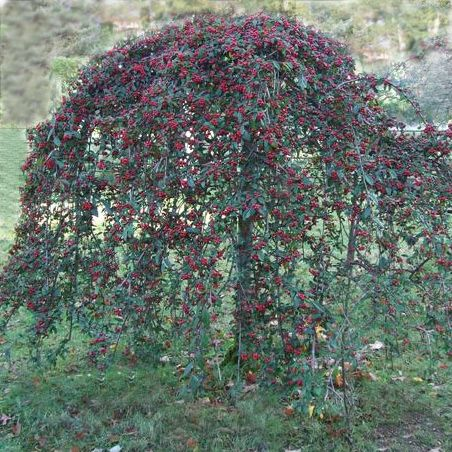 Image result for cotoneaster tree images