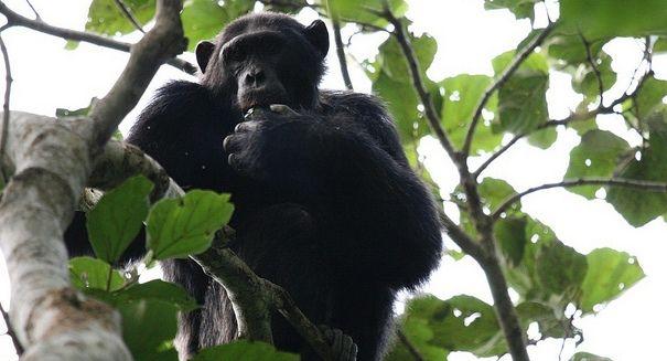 Derby Proctor ricercatore dell'Istituto Nazionale di Ricerca sui primati della Emory University, con il suo team di lavoro, ha messo alla prova un campione di scimpanzé con cui si è giocato ad Ultimatum, così da mettere alla prova il senso di ingiustizia dei primati oggetto di studio. In questo tipo di gioco, in genere proposto in ambito economico