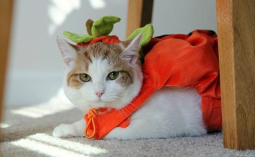 pumpkin: 10 Pet, Precious Animal, Hilarious Pet, Catwalks Cat, Autumn Cat, Precious Moments, Sweet Pumpkin, Pet Costumes, Pet Halloween Costumes