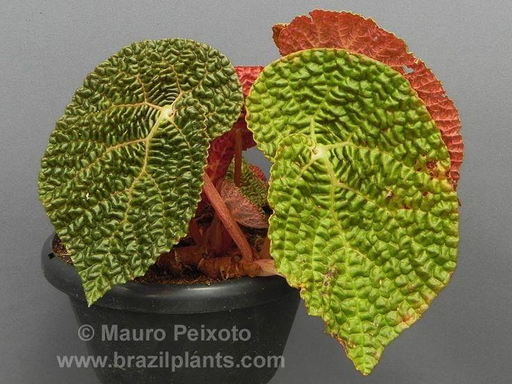 Les 101 meilleures images du tableau beg nias sur - Begonia d interieur arrosage ...