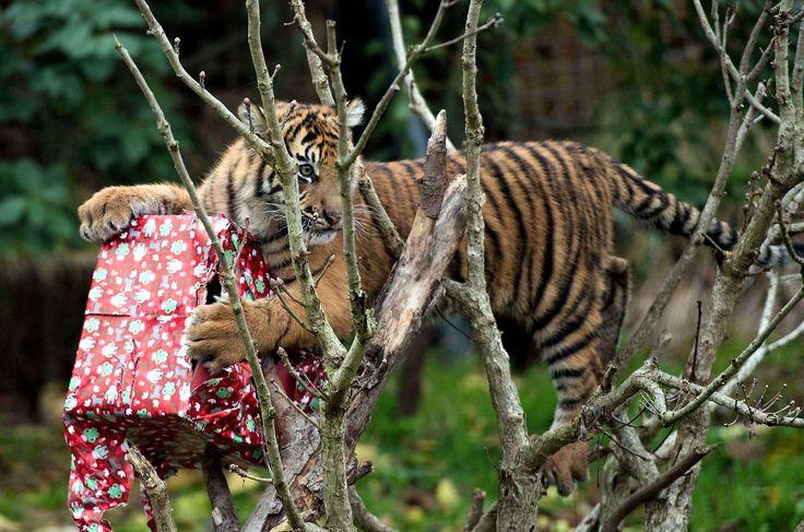 Ce tigre de Sumatra a été obligé d'escalader pour trouver son présent de noël.
