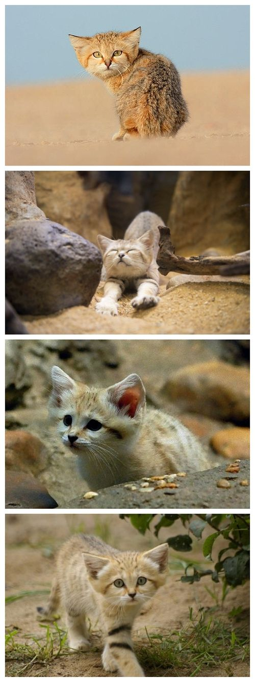 Sand Cats - This endangered wild cat is so small that it's hard to tell if it's a kitten or an adult...