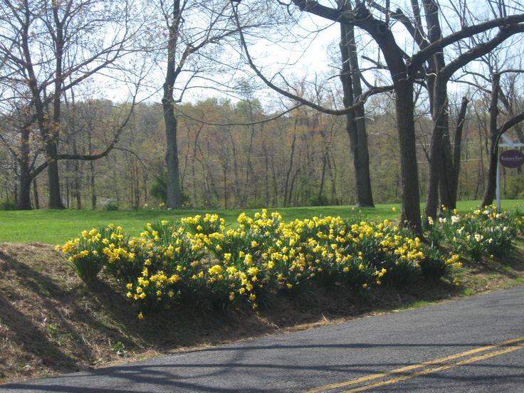 Daffodils in Full Bloom in April!