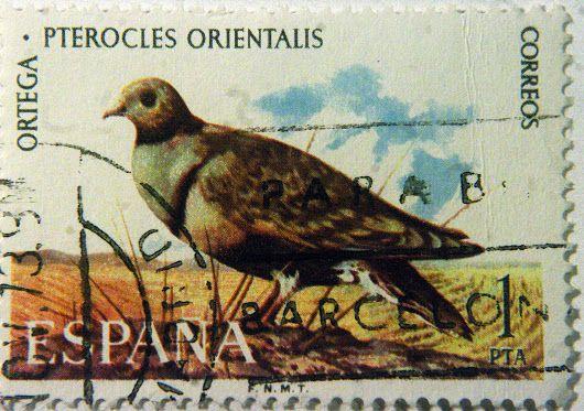Pterocles orientalis