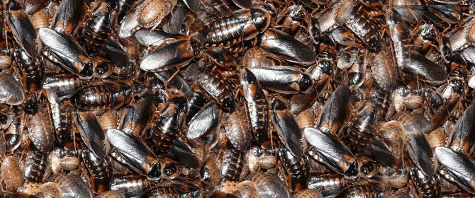 Need help deciding whether to use Dermestid beetles as cleaner crews in a Dubia roach colony? The ups and downs of this common practice are discussed here.