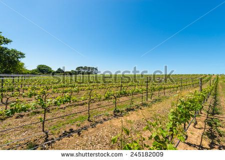 http://www.shutterstock.com/pic-245182009 Constantia Grape Wineland Countryside Landscape Background Of Hills With Mountain Backdrop In Cape Town South Africa Stock Photo 245182009 : Shutterstock