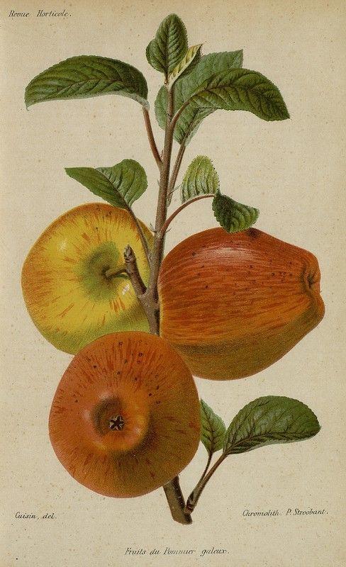 SNHF | Fruits du pommier galeux