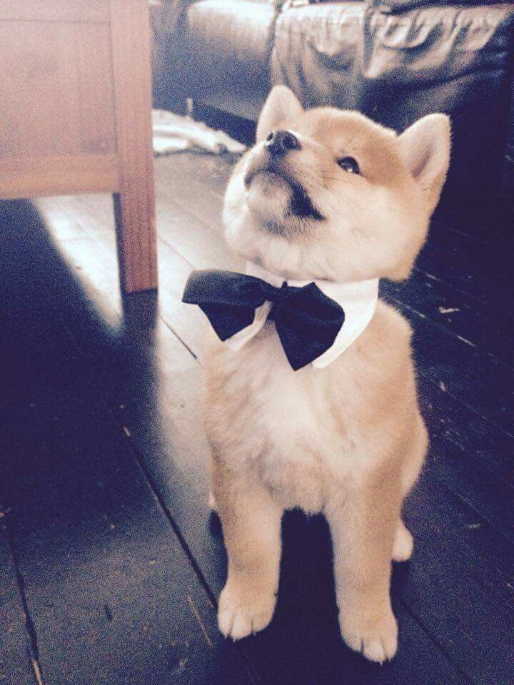 Pin by Sophie Stein on Animals Cute animals, Shiba inu